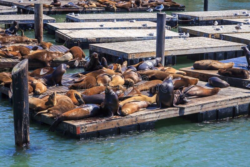 Otaries à San Francisco images libres de droits