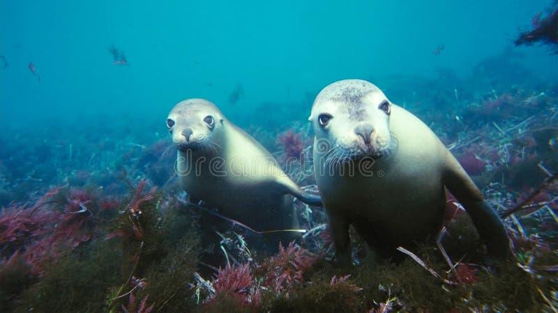 Otaries australiennes Neophoca cinereaplaying en eaux peu profondes dans la région d'îles de Neptune, Australie du sud photos libres de droits