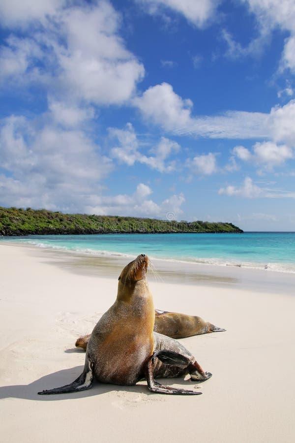 Otaries de Galapagos sur la plage chez Gardner Bay, île d'Espanola photographie stock libre de droits