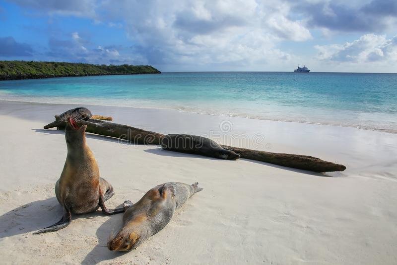 Otaries de Galapagos sur la plage chez Gardner Bay, île d'Espanola image libre de droits