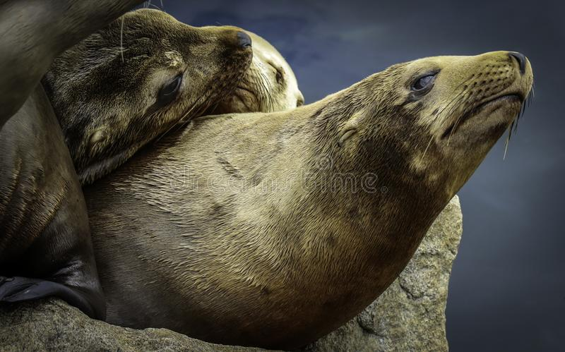 Otaries de la Californie photographie stock libre de droits