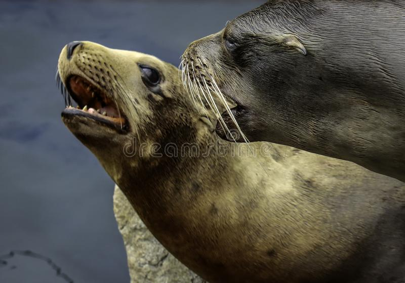 Otaries de la Californie photos stock