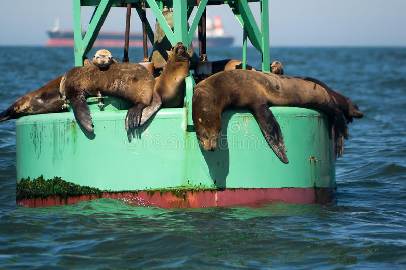 Otaries de la Californie image stock