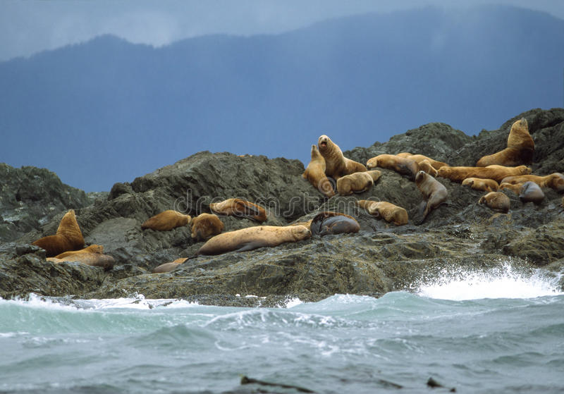 Otaries de la Californie - son de Clayoquot photographie stock