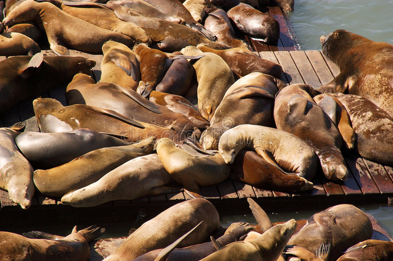 Download Otaries de San Francisco photo stock. Image du groupe, port - 85796