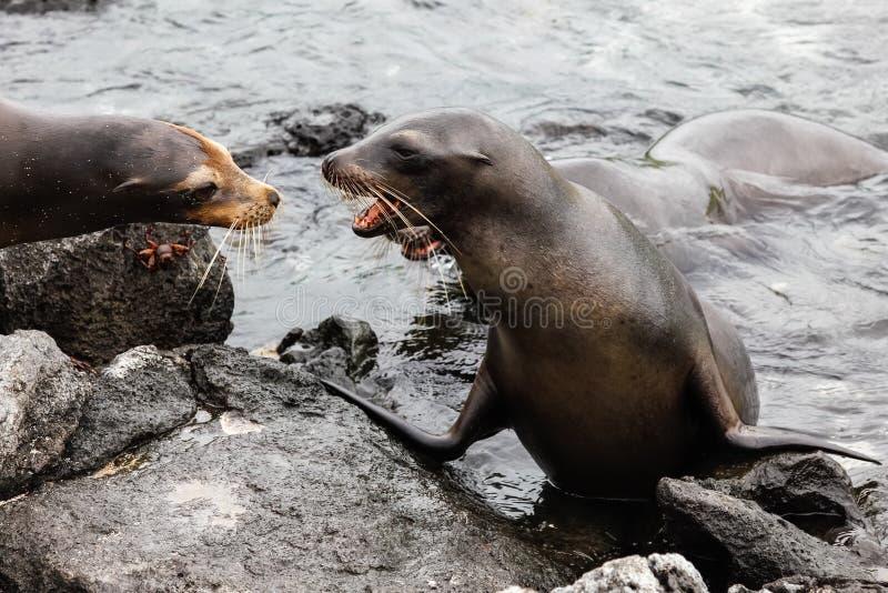 Otaries masculines contestant le territoire dans les îles de Galapagos photographie stock libre de droits