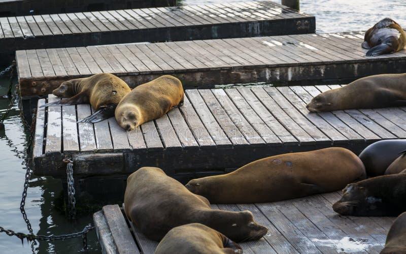 Otaries sur la jetée 39 dans le quai de Fishermans, San Francisco photographie stock