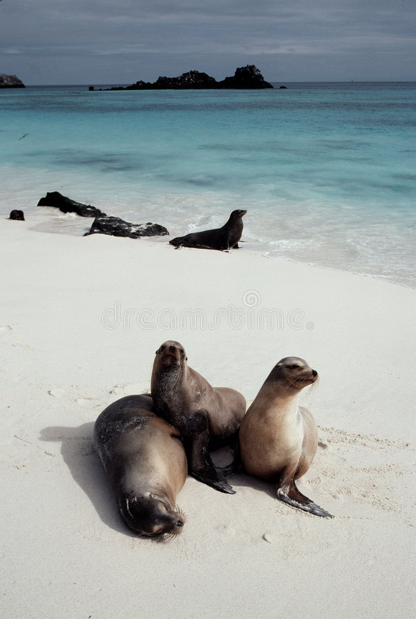 Otaries sur la plage photo libre de droits
