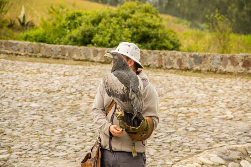 OTAVALO,厄瓜多尔- 2018年5月29日:一只黑有胸腔的肉食老鹰在鸟经理的手套的手上登陆在神鹰公园 库存图片