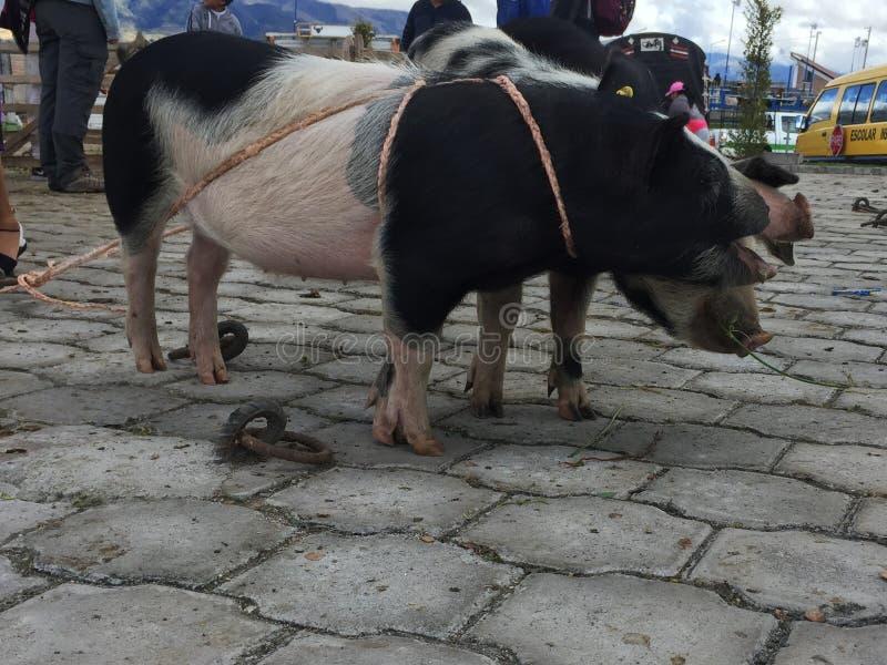 Otavalo, Ecuador, 28-6-2019: Mensen die varkens verkopen bij de beroemde dierlijke markt van otavalo stock afbeeldingen