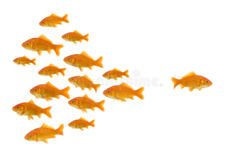 In the other direction. Dare to be different : one goldfish swimming the other way, isolated on a white background