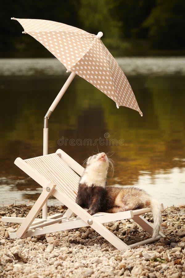 Other pattern ferret enjoying relaxation on beach chair with umbrella. Ferret on beach enjoying relaxation on beach chair with umbrella royalty free stock image