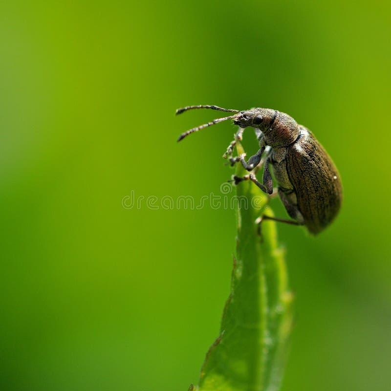 Otiorhynchus-ligustici Rüsselkäfer lizenzfreie stockfotos