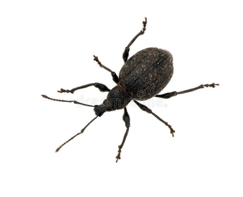 Otiorhynchus sulcatus - schwarzer Reberüsselkäfer, getrennt stockfoto