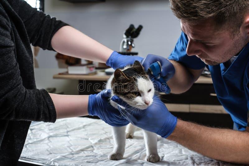 Otite d'esame del gatto del veterinario maschio con un otoscopio in una clinica del veterinario immagini stock libere da diritti