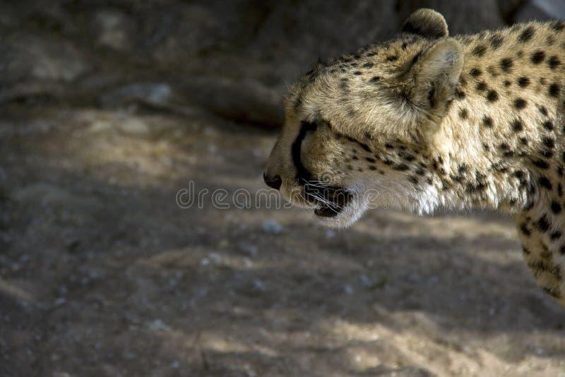 Otjitotongwe, casa de campo del guepardo imagen de archivo