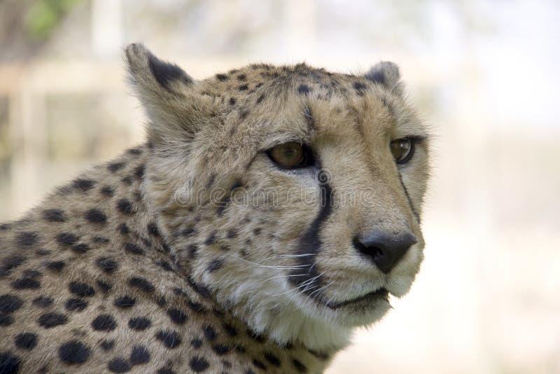 Otjitotongwe, casa de campo del guepardo imágenes de archivo libres de regalías