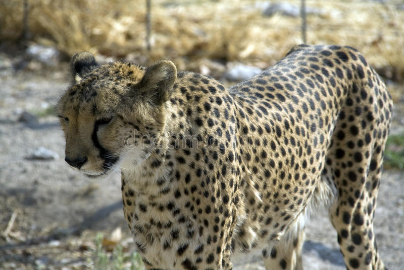 Otjitotongwe, casa de campo del guepardo fotografía de archivo