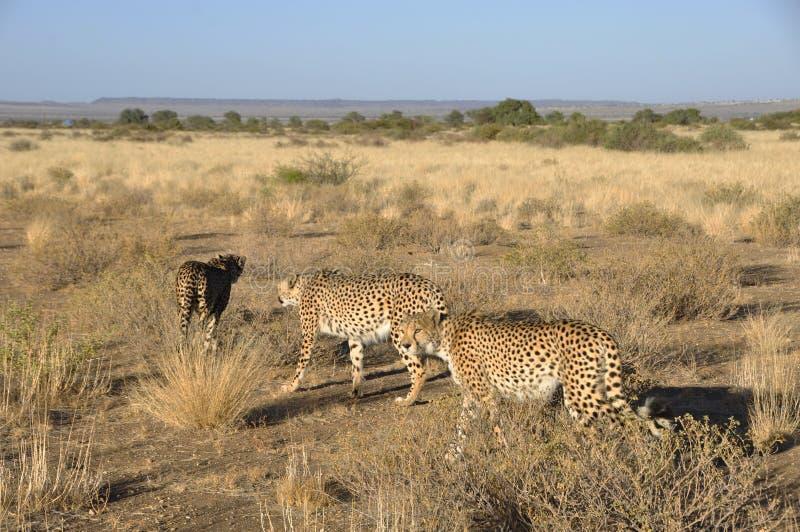 Otjiwarongo: Tre geparder som går till och med den namibian Kalaharien arkivfoto