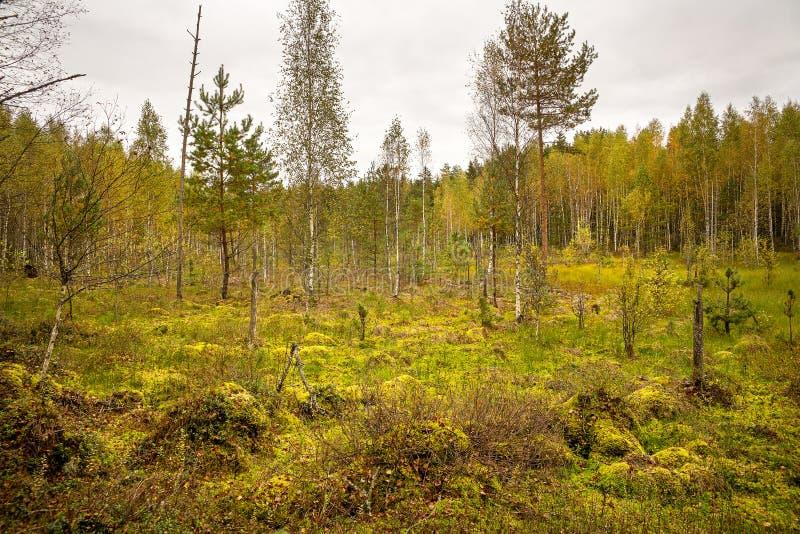 Otoño de oro en el pantano del bosque foto de archivo libre de regalías