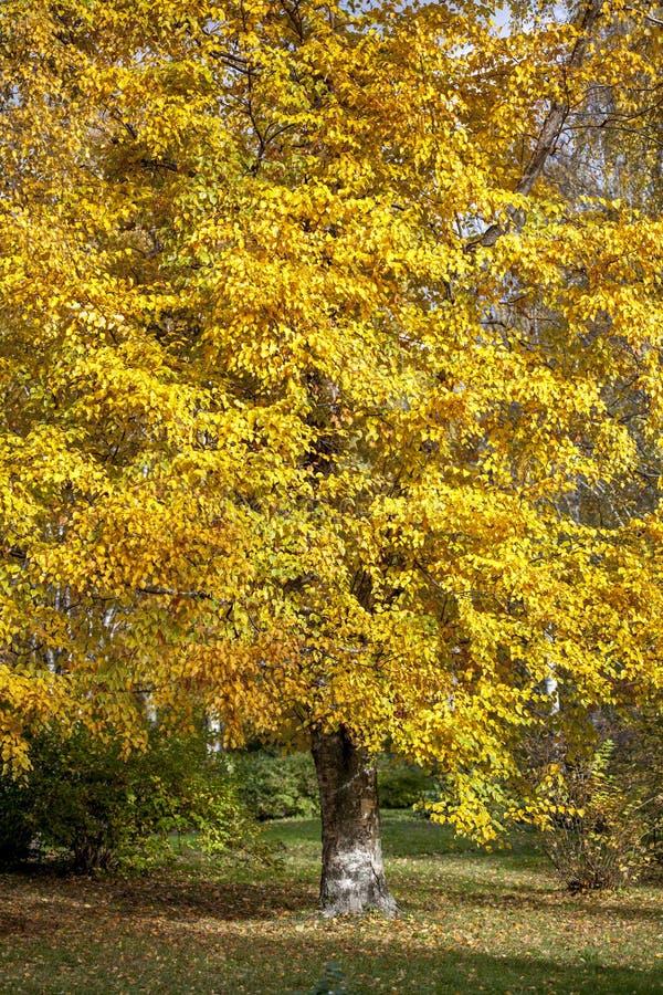 Otoño del árbol en el parque foto de archivo