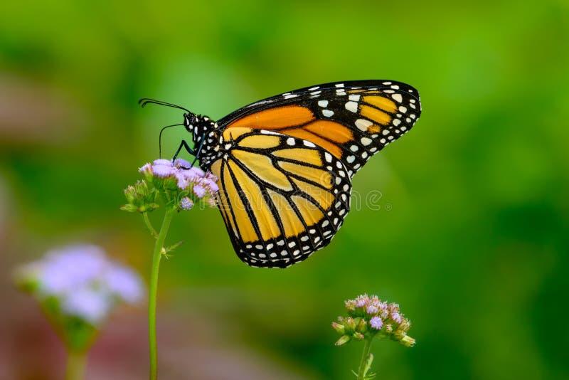 Otoño del monarca - monarca que recolecta el néctar de pequeña f lavendar fotografía de archivo libre de regalías