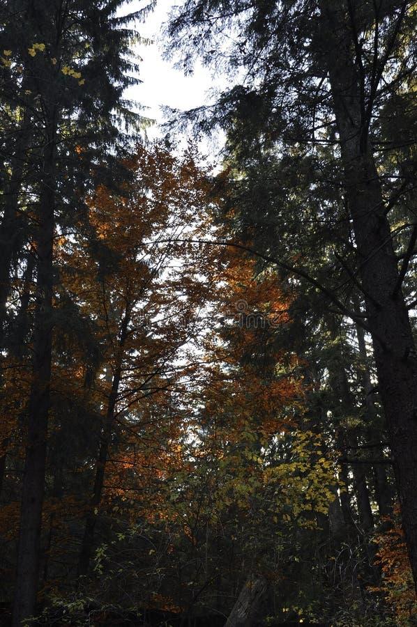 Otoño en el bosque grueso fotos de archivo