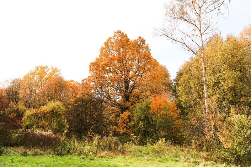 Otoño en Moscú, Rusia. Los árboles de colores de la madera, los árboles son rojos, amarillos, las naranjas y las hojas cubren  fotografía de archivo libre de regalías