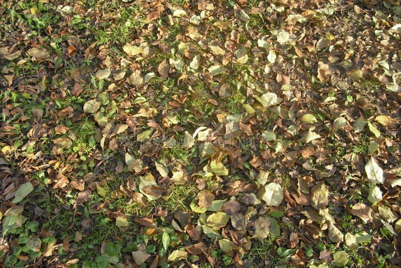 Otoño Hojas caidas del amarillo en la hierba verde foto de archivo libre de regalías