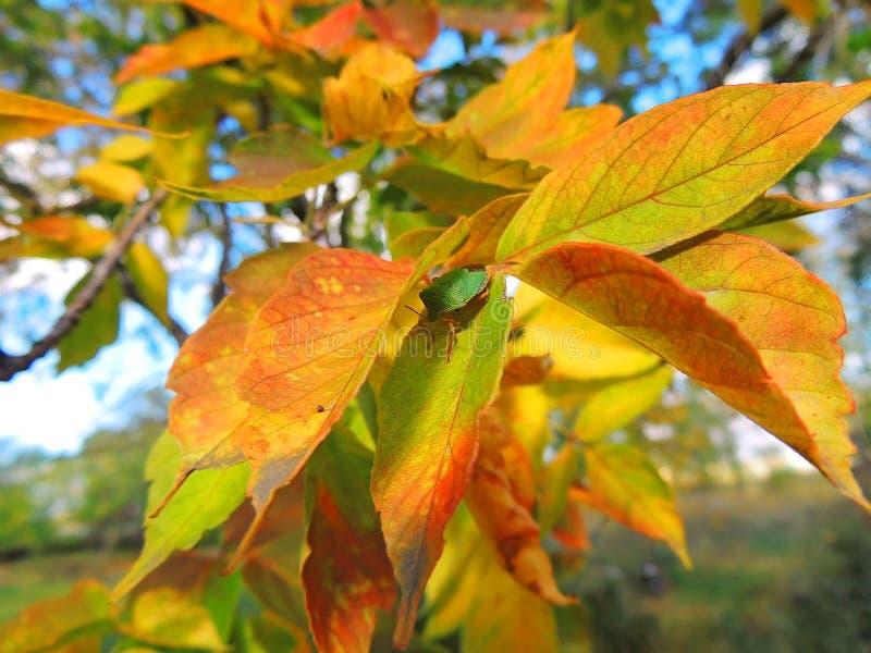 Otoño, hojas de arce brillantes fotografía de archivo