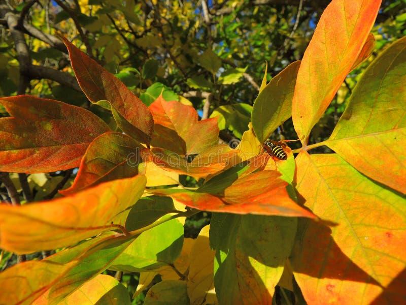 Otoño, hojas de arce brillantes foto de archivo
