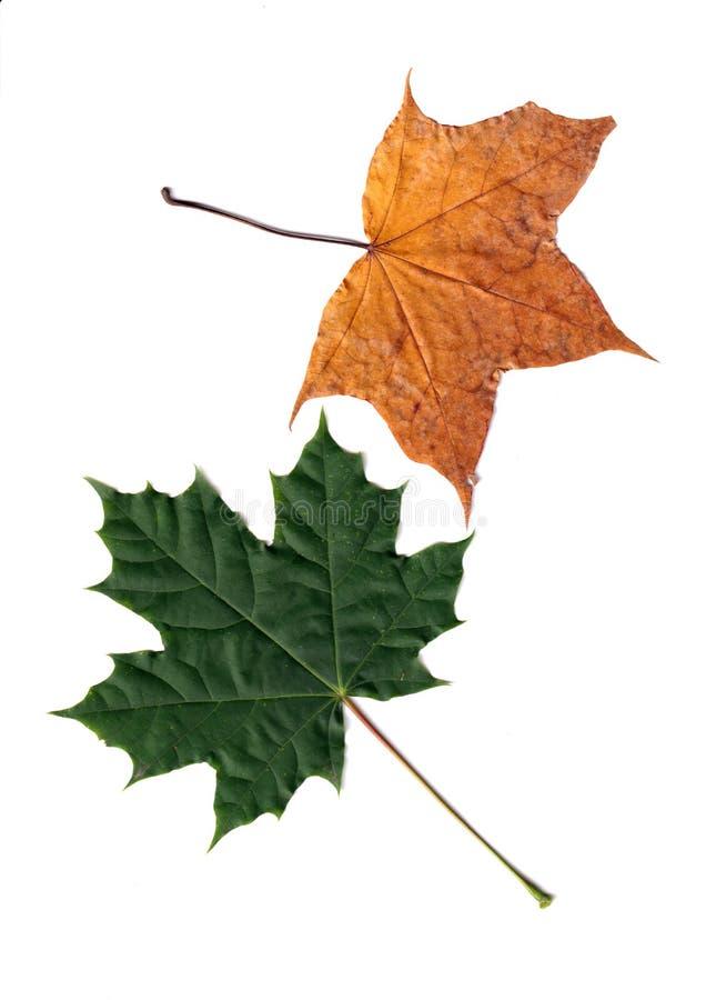 Otoño rojo y hojas amarillas aisladas sobre blanco imagen de archivo libre de regalías