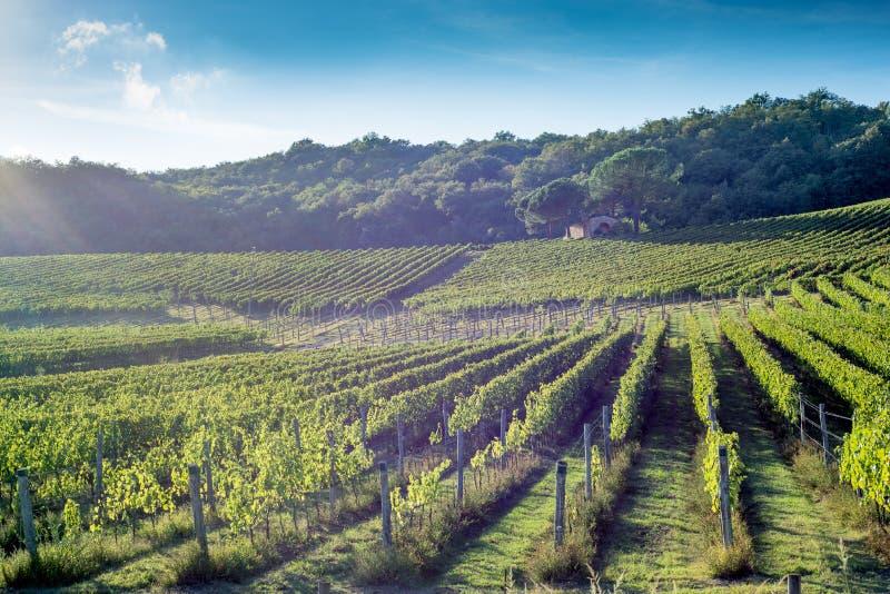 Otoño temprano del viñedo toscano con la pequeña choza de piedra 2 foto de archivo libre de regalías