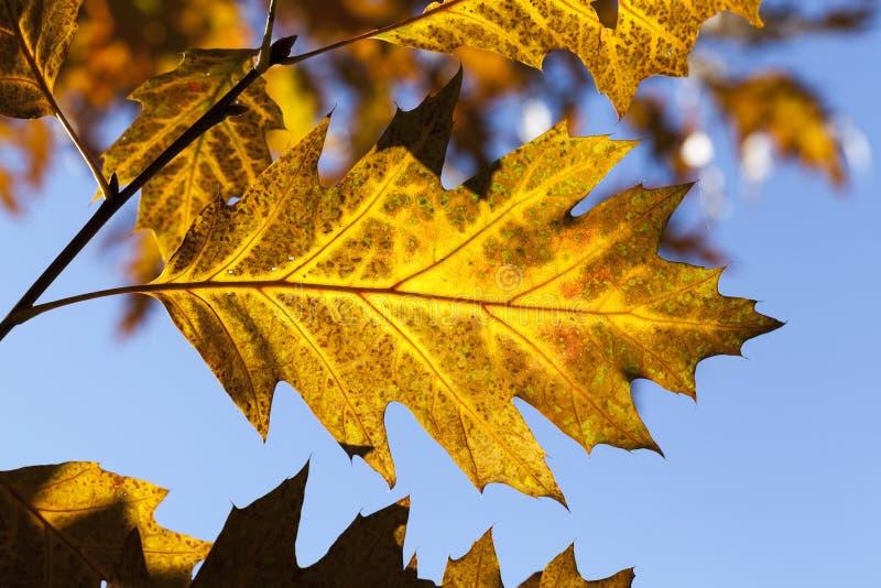 Hojas de roble en otoño fotos de archivo