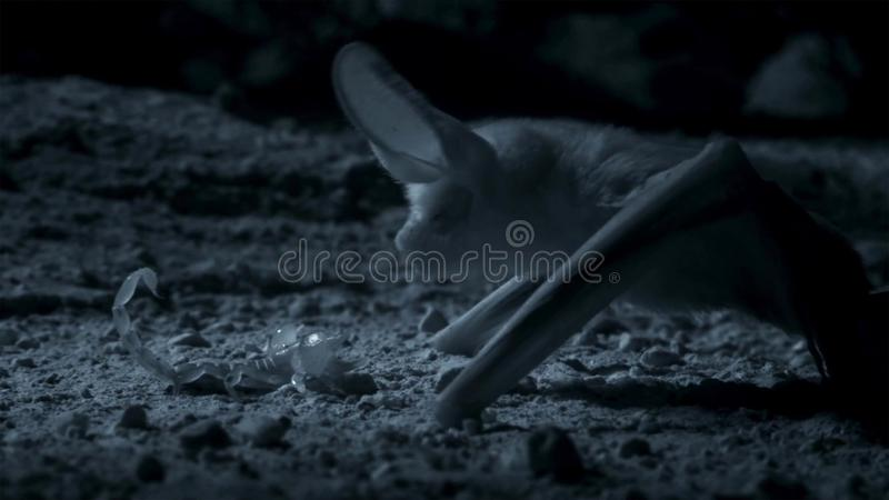 Otonycteris, the desert long-eared bat, is on the hunt in darkness, Israel`s Negev desert royalty free stock image