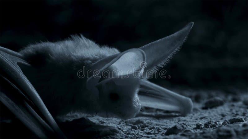 Otonycteris, o bastão longo-orelhudo do deserto, está na caça na escuridão, o deserto do Negev de Israel foto de stock royalty free