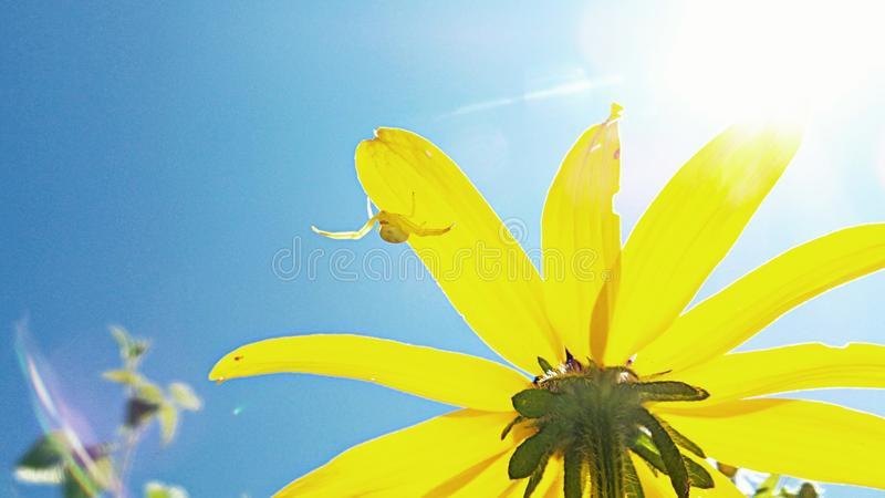 Otra flor negra amarilla fotografía de archivo