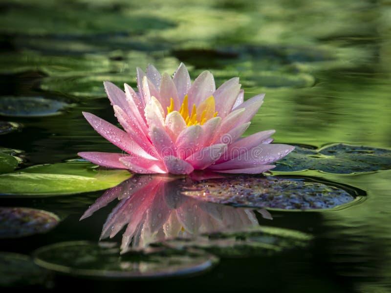 Otta av rosa ` för solnedgång för näckros`-Perry ` s orange, royaltyfria foton
