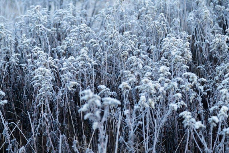 Otta fryst rimfrostgräs i tidig höstmorgon Frostiga växter i trädgården, annalkande vintertid arkivfoton