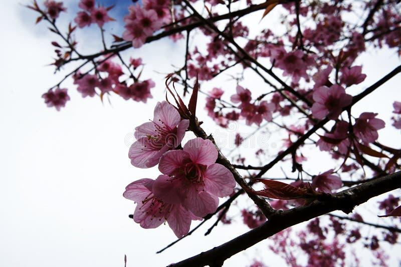 Ottan blomstrar den sakura blomman, milt solsken arkivfoton