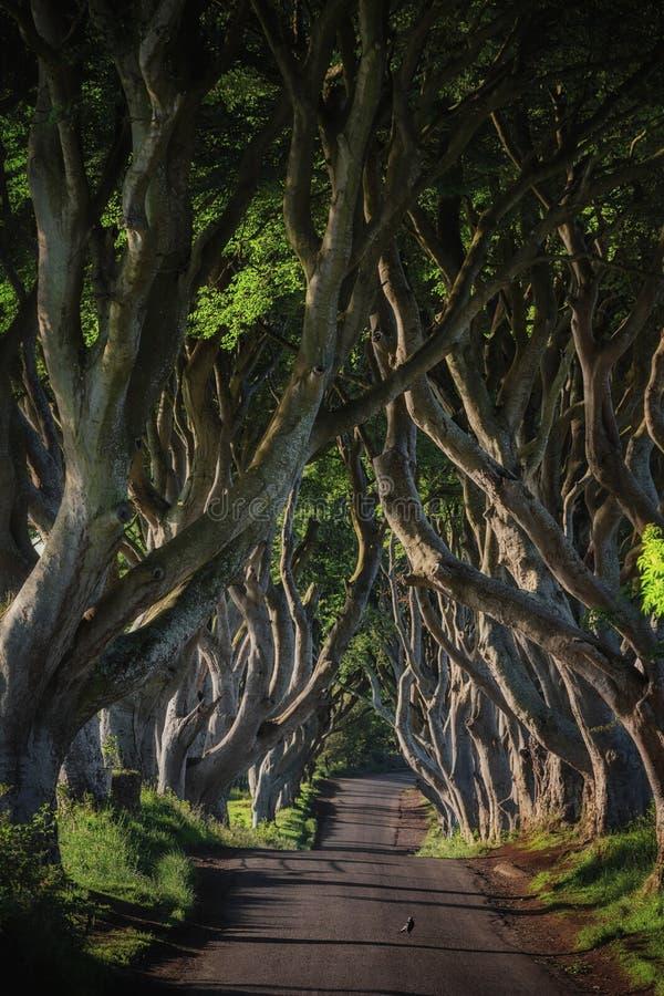 Ottasolljus i bokträdgränden som mörkret slingra sig, ståndsmässiga Antrim i nordligt - Irland arkivbild
