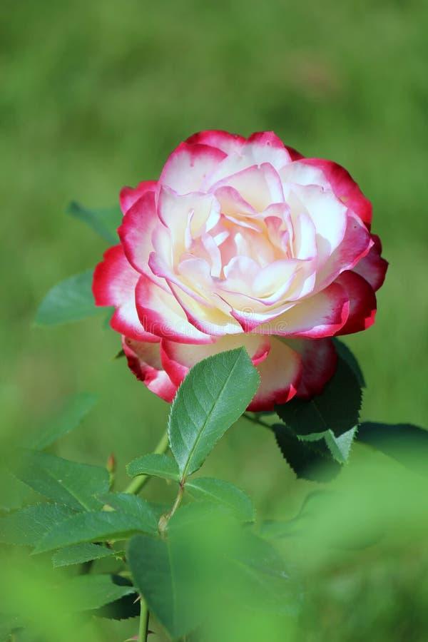 Ottasolljus som drar uppmärksamhet till detaljen av rosa färg- och vitroskronblad på växten i trädgård royaltyfri bild