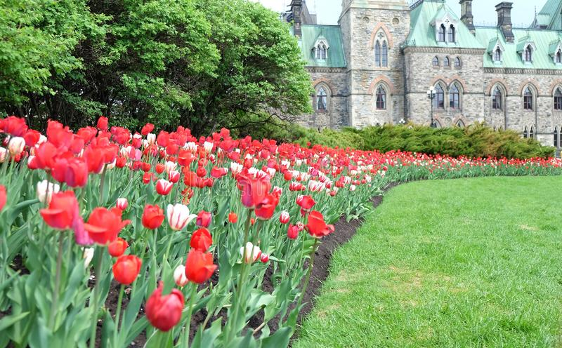 Ottawa tulip festival, Parliament Building with many tulips in the foreground, Parliament Hill. Selective focus. royalty free stock photography