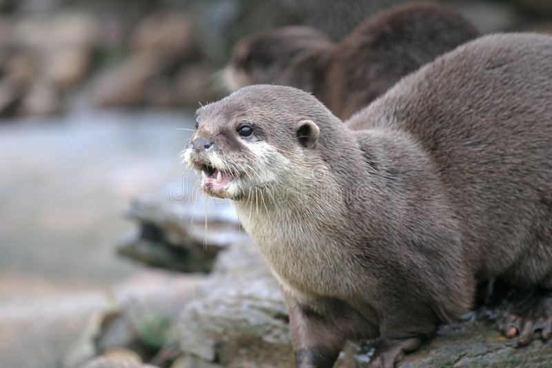 Otter. An otter on a river bank stock photos