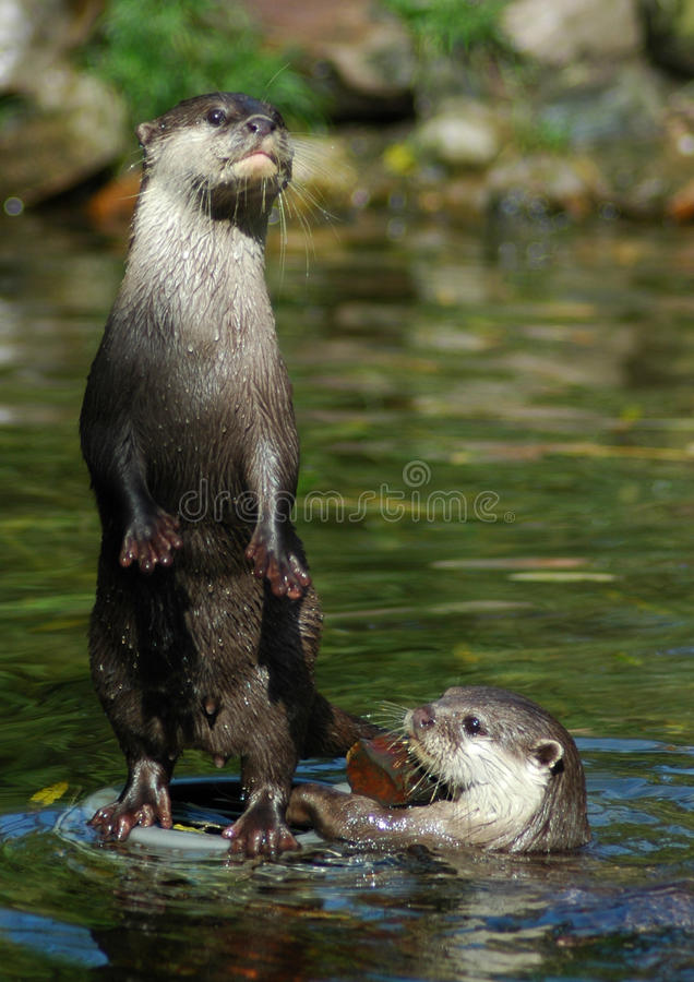 Free Otter 3 Stock Image - 10614161