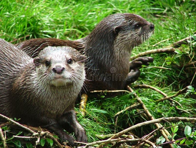 otter zdjęcie stock