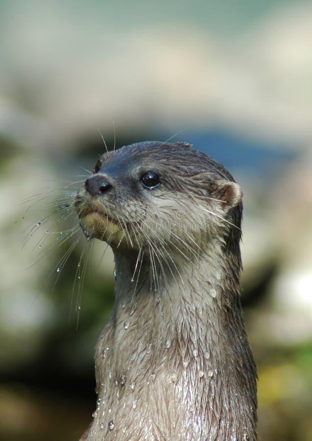 Otter 4 royalty-vrije stock foto