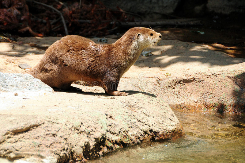 Otter royalty-vrije stock afbeelding