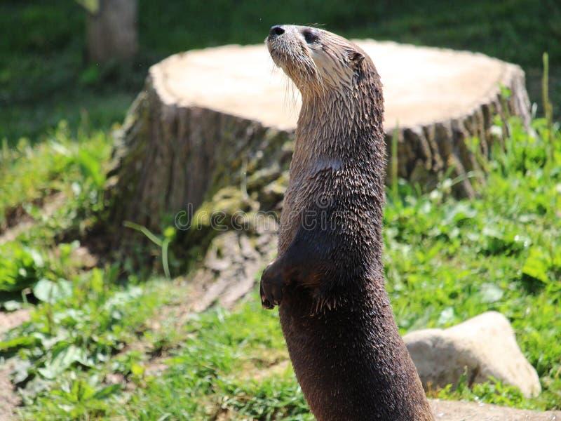 otter stock foto's
