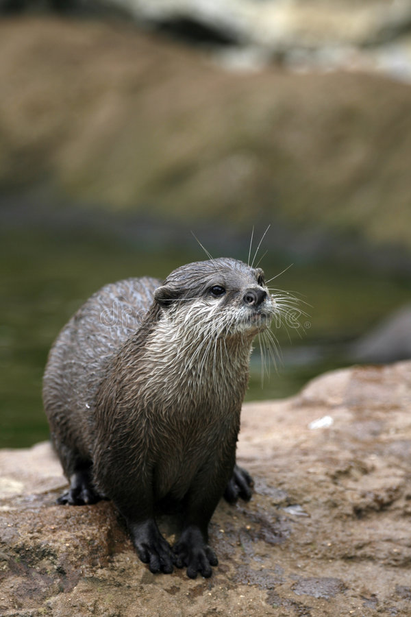 Otter. An otter at the London Zoo (shallow depth of field with the focus on the otter's head royalty free stock photo
